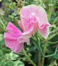 Sweet peas: how to sow in late winter, spring or autumn Big Flowers, Growing Flowers, Fall Flowers, Amazing Flowers, Prince Of Orange, Cottage Garden Plants, Cold Frame, Winter Springs, Flower Show