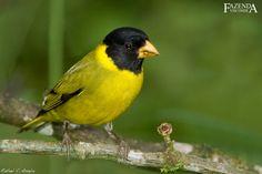 Pintassilgo de Bico Grosso - Carduelis crassirostris Aves Ornamentais - Pássaros   Fazenda Visconde