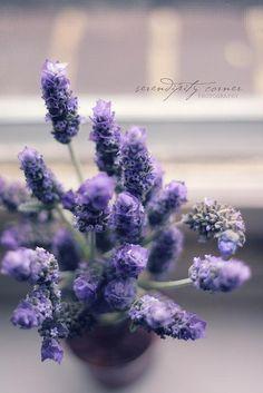 lavender by the window sill Lavender Cottage, Lavender Green, French Lavender, Lavender Fields, Lavender Flowers, Lavender Oil, Purple Flowers, Beautiful Flowers, Lavander