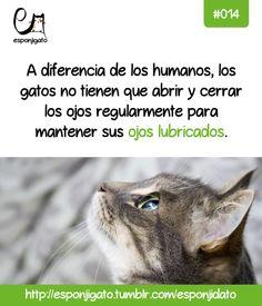 #Esponjidato: a diferencia de los humanos, los gatos no tienen que abrir y cerrar los ojos regularmente para mantener sus ojos lubricados.