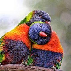 Love Birds, so sweet. Pretty Birds, Beautiful Birds, Animals Beautiful, Cute Animals, Exotic Birds, Colorful Birds, All Birds, Love Birds, Animal Hugs