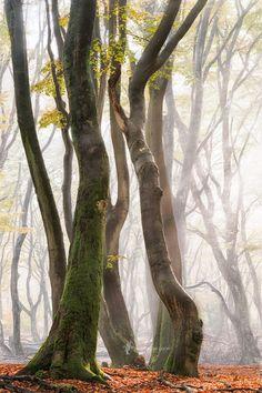 Reaching Out - Speulder forest, Forest of the dancing trees. Netherlands  Follow me on Instagram https://www.instagram.com/larsvandegoor/