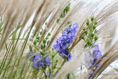 Miscanthus and Aconitum | by Anna Omiotek -Tott Garden Photography