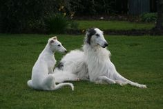 elegant borzoi and pup