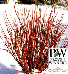 Arctic Fire Dogwood I wish I lived North in the winter when I see this color.