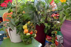 Tänker att det var nog mycket tack vare tomten det blev några tomater alls.