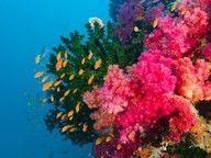 Soft coral vibrance ~ Viti Levu, Fiji....