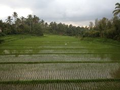 Ricefields view from our room at Cempaka Belimbing, Belimbing, Bali