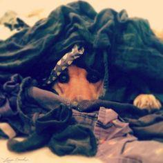 Where's waldo..... #dog #animals #hide_n_seek #dachshund #clothes #humor
