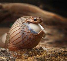 Snake swallowing an egg by Nic Bishop