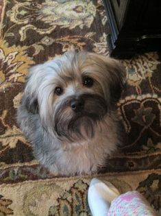 Amazing Havanese Puppy Training Havanese Dogs Grey Source by ameersellers The post Havanese Dogs Grey appeared first on Murtaza Mutts. Cute Dogs Breeds, Cute Dogs And Puppies, I Love Dogs, Dog Breeds, Doggies, Havanese Puppies, Yorkie, Puppies Puppies, Companion Dog