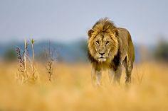 Lion, Katavi National Park, Tanzania | Flickr - Photo Sharing!