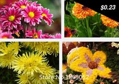 Great item for everybody. 100 seeds/pack Chrysanthemum Flower seeds natural mosquito repellent grass bonsai plants balcony Flower Seeds Free Shipping - $0.23 http://searchhomeimprovements.com/products/100-seedspack-chrysanthemum-flower-seeds-natural-mosquito-repellent-grass-bonsai-plants-balcony-flower-seeds-free-shipping/