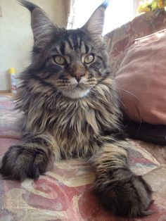 Oh what big ears you have...oh what big paws you have! Maine Coon.
