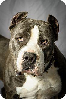 Pit Bull Terrier Dog for adoption in Tulsa, Oklahoma - Athena