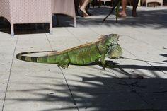 The Squirrels of Florida: Iguana