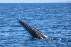 Bryde's whale shows it's head as it feeds on plankton in the Hauraki Gulf Marine Park, Auckland NZ Bryde's Whale, Humpback Whale, Whales, Auckland New Zealand, Deep Blue Sea, Marine Life, Dinosaurs, Dolphins, Dragons