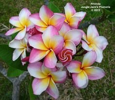 Rhonda: This stout growing, near-dwarf variety is one of our best blooming plumerias, with large clusters of brightly colored, peach-scented flowers. One of our personal favorites.