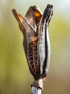 Lily Seed Pod by - Wendy Kremer Planting Seeds, Planting Flowers, Seed Pods, Patterns In Nature, Natural Forms, Dried Flowers, Organic Gardening, Beautiful Flowers, Flora