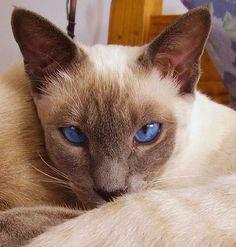 (Article from www.MetaphoricalPlatypus.com; Siamese Cat Photo by Noelia Schulz, Wikimedia Commons)