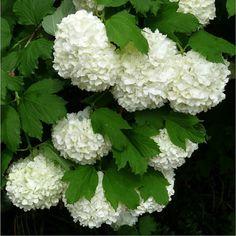 Snowball Plant, Snowball Viburnum, Outdoor Plants, Outdoor Gardens, Outdoor Flowers, Outdoor Spaces, Outdoor Decor, Viburnum Opulus Roseum, Plants