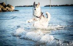 Fun in the sea! All Types Of Dogs, Happy Animals, Dogs Of The World, Pet Memorials, Animal Pictures, Husky, Horses, Sea, Cats
