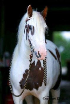 Paint Horse - love those reins Most Beautiful Horses, All The Pretty Horses, He's Beautiful, Beautiful Creatures, Animals Beautiful, Cute Animals, Cute Horses, Horse Love, Clydesdale