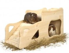 small animals popular rodents guinea pigs overview