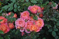 Roses exposed in Euroflora Fair, Genova, Italia