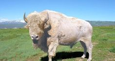How To Capture A Great White Buffalo