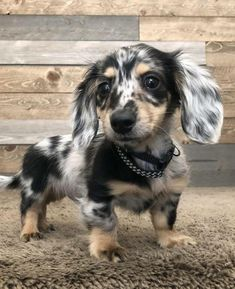 20 Dachshunds With The Most Beautiful Coat Patterns. - Dog Red LineYou can find Dachshund puppies and more on our Dachshunds With The Most Be. Dachshund Breed, Long Haired Dachshund, Dachshund Love, Daschund, Long Haired Weiner Dogs, Cute Baby Animals, Funny Animals, Funny Dogs, Animals Dog