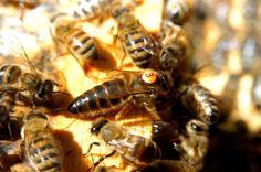 nice Multiple threats to honeybee population