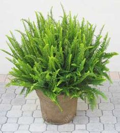 Nephrolepis obliterata also known as the Australian sword fern or Kimberly queen is one of the easier ferns to grow. Originating from Australia, this is considered to be one of the most beautiful among all ferns. Although I do like staghorns in the right setting. It has large... #fal #spr #sum