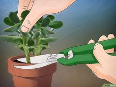 How to Grow a Jade Plant. Jade plants (sometimes called a money plant) are a type of succulent plant. These plants are easy to grow and maintain; thus, they are a common choice for many plant lovers. They don't require a lot of water, and. Crassula Ovata, Plante Crassula, Crassula Succulent, Succulent Care, Echeveria, Types Of Succulents Plants, Jade Plants, Planting Succulents, Planting Flowers