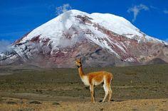Alpaca con el fondo del Chimborazo...