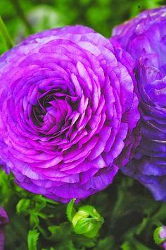 Ranunculus Bloomingdale ~ 'Purple Shades'