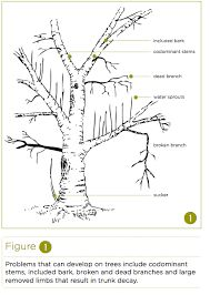 Many people know that correct pruning of fruit trees and shrubs can lead to a more productive, and more beautiful, plant. Tree Diagram, Tree Pruning, Plum Tree, Trees And Shrubs, Fruit Trees, Bonsai, Plants, Gardening, Image