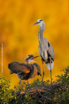 Great blue heron with chick at first light, Florida