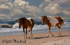 Wild Ponies, Assateague State Park, Ocean City MD