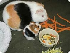 Mother and Baby Guinea Pig eating