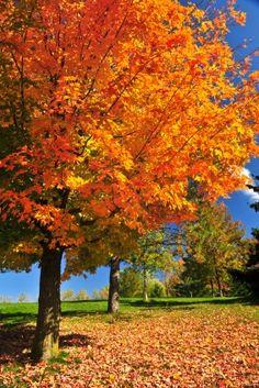 Vermont Maple Tree