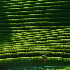 #Tea plantation in Kyoto Japan Tea plantation in Kyoto Japan
