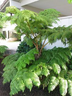 Hawaiilan Tree Fern - Cibotium glaucum : Rare Fruits, Edibles and Permaculture with a focus on tropicals Ferns Garden, Shade Garden Plants, House Plants Decor, Indoor Plants, Tropical Garden Design, Tropical Landscaping, Backyard Landscaping, Australian Tree Fern, Australian Garden