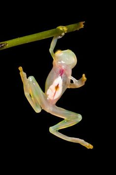 HEART SORTA ON SLEEVE This so-called glass frog's transparent body lacks pigmentation and reveals its organs in action—including a beating heart. More than 150 species of glass frogs are found in rain forest trees across Central and South America. (Photo: Paul Hamilton / RAEI via National Geographic)