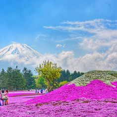 Little fujisan - Shibazakura festival in kawaguchiko area you can see the pink floor and have mount fuji in a back you can go from kawaguchiko train station a price around 2000 yen (include entrance ticket and roundtrip bus) open : end of april - may . . #kawaguchiko #fuji #mtfuji #mountfuji #fujisan #shibazakurafestival #instratravel #travel #travels #travelgram #traveling #travelingram #travelstoke #travelblogger #photography #snapseed #mountains #photography #photooftheday #photoday…