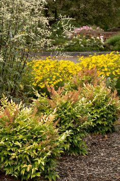Nandina domestica Gulf Stream (Heavenly Bamboo)- New foliage is a fiery orange-yellow. Evergreen and very hardy in Oregon.