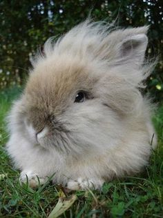 Lionhead Rabbit - from My Smelly Animal Community