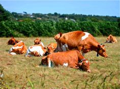 Guernsey Cows, Guernsey Island, United Kingdom, Artist:Rebecca Cook of Bellesouth Studio