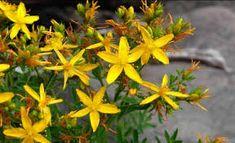 melisă, lămâiţă, floarea stupilor, busuiocul stupului, iarba roilor, – Căutare Google Cats, Paradis, Google, Medicine, Green, Therapy, Plant, Fragrance, Gatos