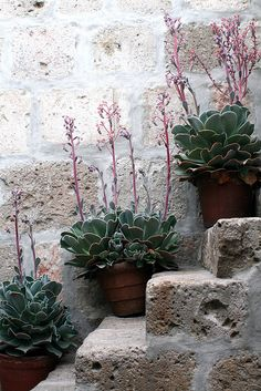 These don't have to be 'all singing/all dancing' sometimes a focal point can just be something simple like here where these stone steps have been used to display some matching pots of Echeveria.  The important thing is to create beautiful pictures within your garden.
